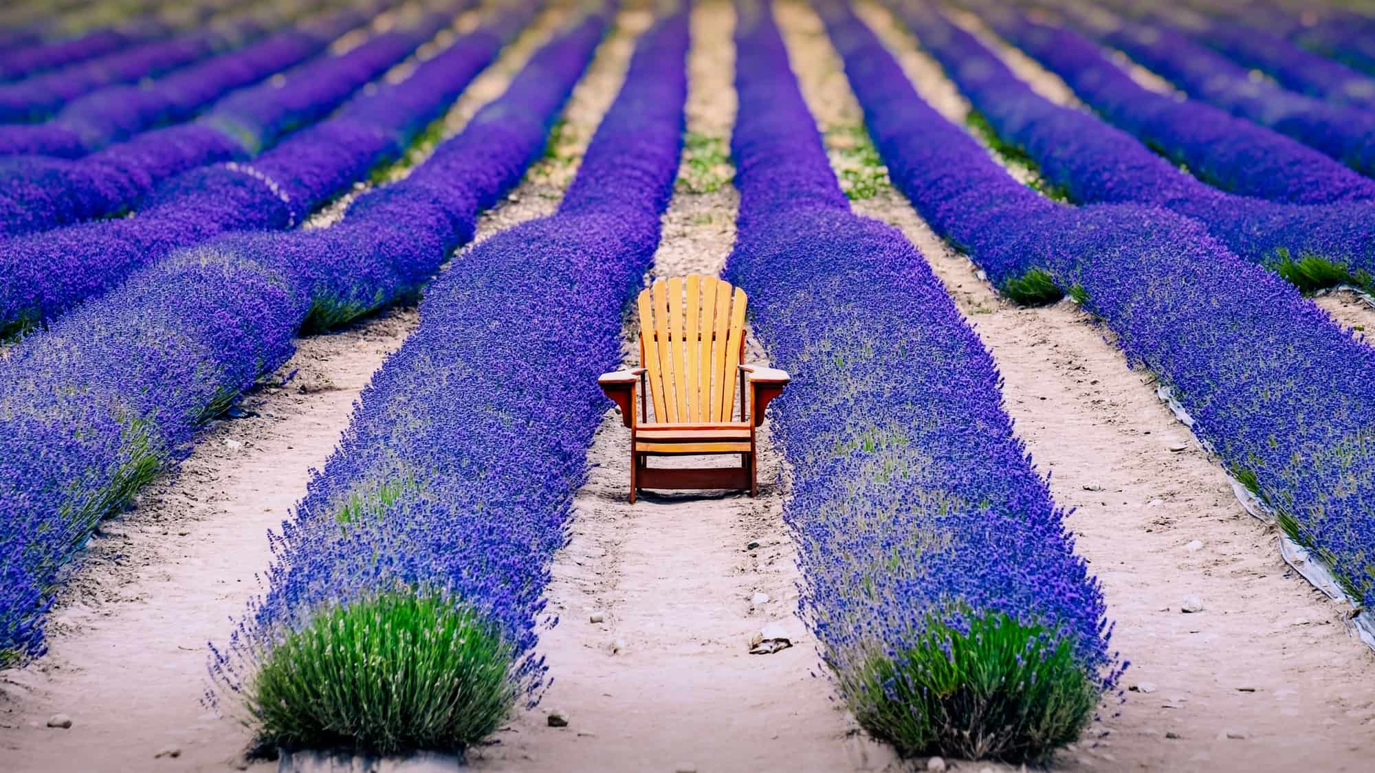 Landscape detail of colorful lavender field with wooden chair, relaxation concept, New Zealand